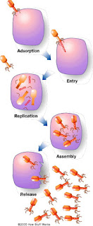 Siklus Litik Virus