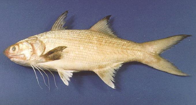 Gambar Ikan Laut Kuro