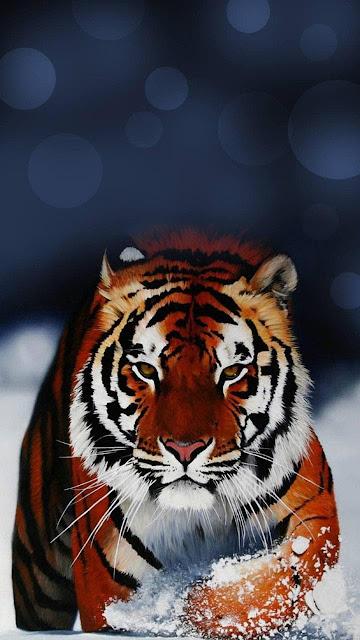 wallpaper Android 720x1280, tigre