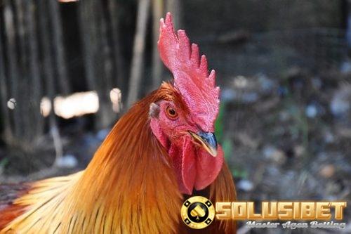 Ciri Jengger Ayam Bangkok yang Paling Dicari - Panduan
