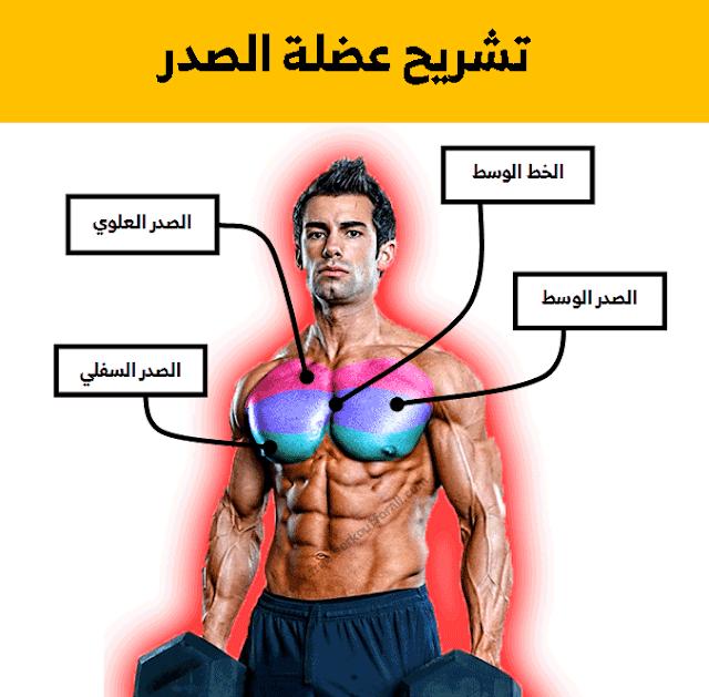 تشريح عضلة الصدر