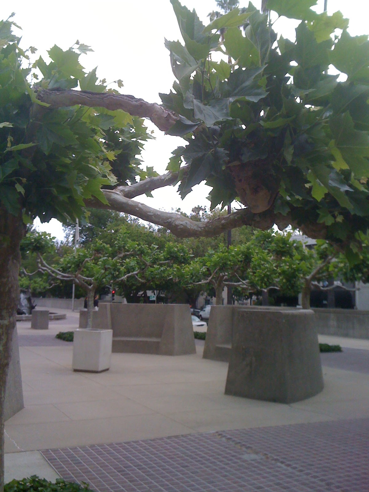 geno 39 s garden design coaching london plane a colorful sacramento tree. Black Bedroom Furniture Sets. Home Design Ideas