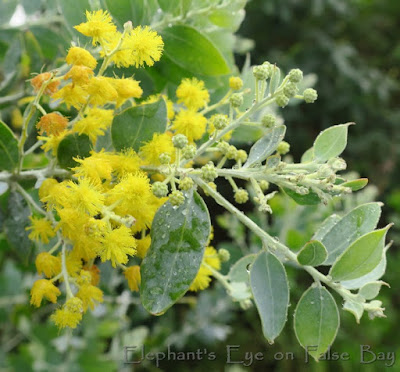 Queensland silver wattle blooming in June
