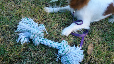 Close-up of a white rope knotted at both ends, with green stripes. It is lying on the grass and behind we see the forelegs of a white and brown puppy.
