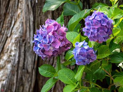 Ajisai (Hydrangea) flowers: Kencho-ji