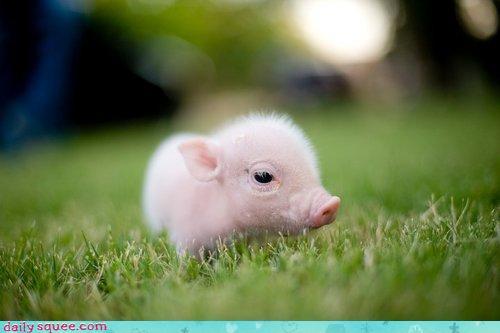 Worlds cutest piglet - photo#34