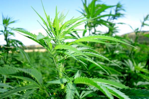 """""""البيجيدي"""" يحذر من تحكم أباطرة المخدرات في القرار السياسي وينبه إلى أضرار قانون """"الكيف"""" الأمنية والاقتصادية"""