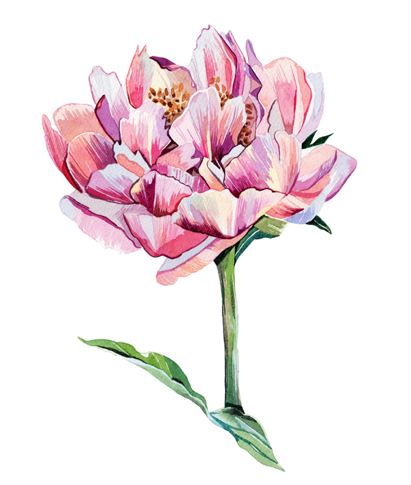 Watercolour Illustrations - Holly Exley Illustrator: Watercolour Flower Illustrations   A Peony ...