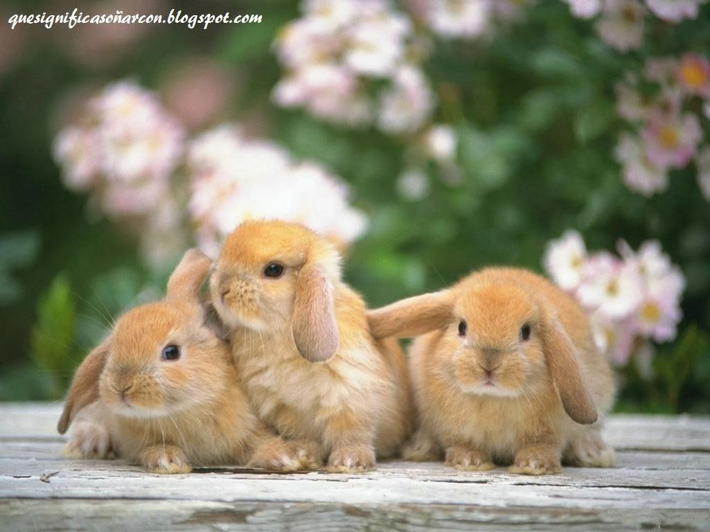 Conejo - Informacin y Caractersticas - Biologa