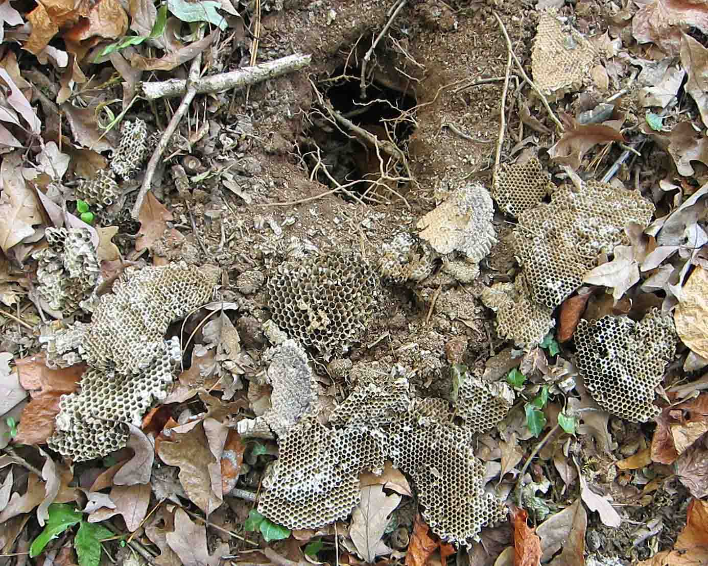 Exploring Nature in NC: Yellow Jacket Nest