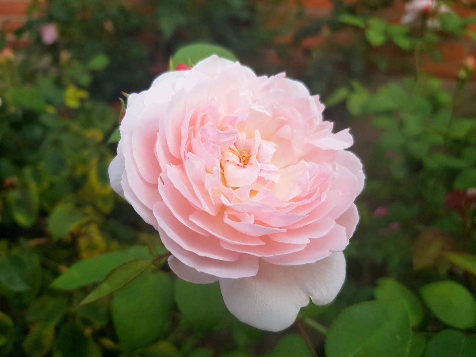 Pale pink rose Queen of Sweden