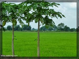Reisfeld Thailand