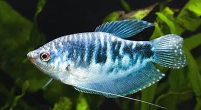 Ikan Sepat Biru