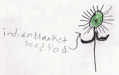 Indian blanket seed pod, from a nature notebook