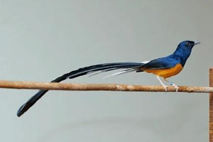 Cara Mudah Memilih Bakalan Burung Murai Batu Medan Super
