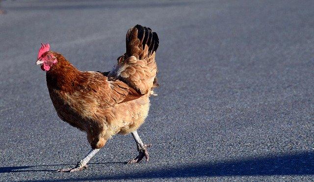 ayam ras