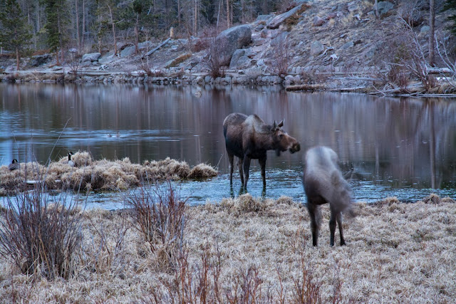 Moose at Sprague Lake, Rocky Mountain National Park