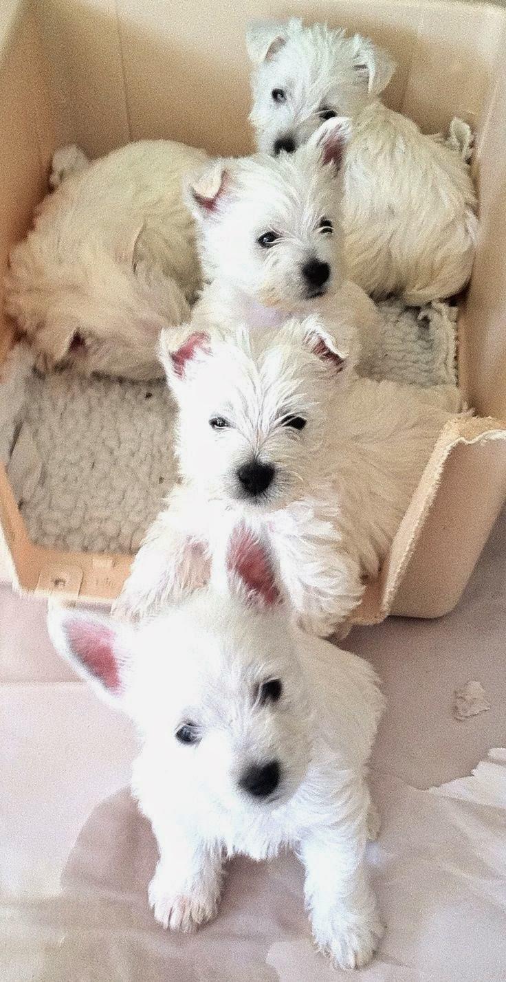 3 Top Westie puppies