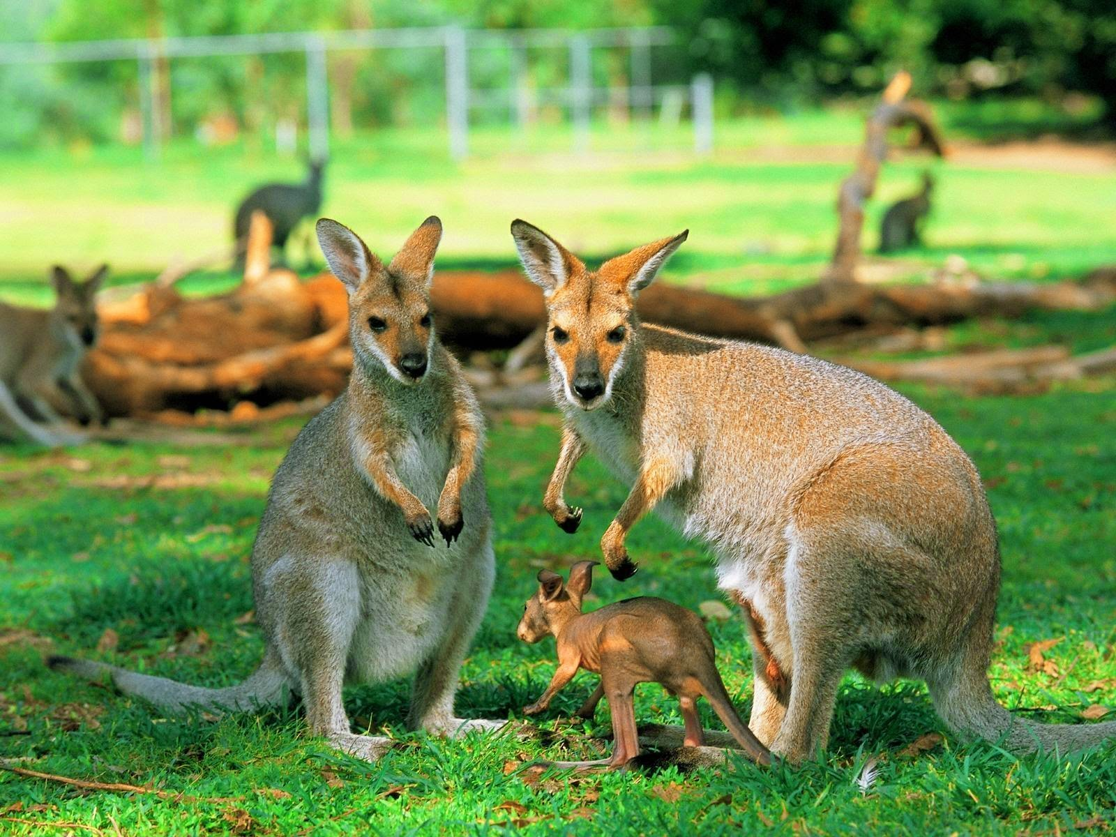 Kangaroo - HD Wallpapers | Earth Blog