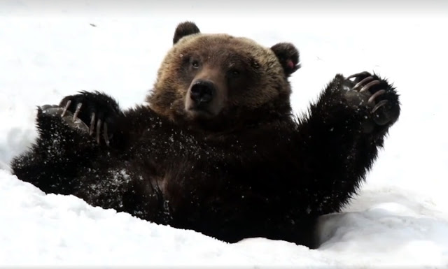 The happiest Grizzly Bear you'll ever see