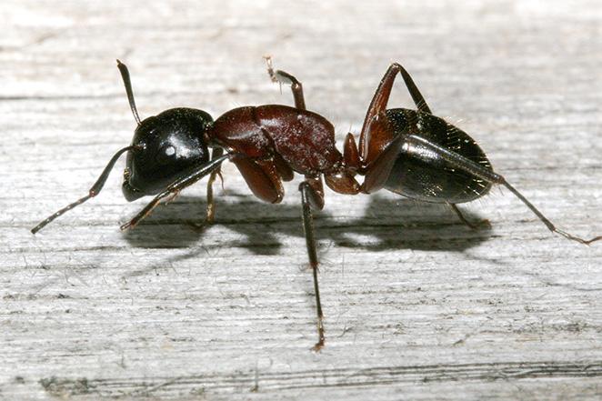 Die Größte Ameise Der Welt