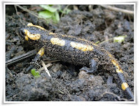 Salamander Animal Pictures