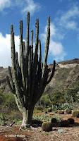 Golden barrel and giant cactuses - Koko Crater Botanical Garden, Oahu, HI