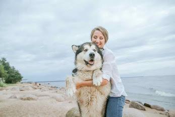 siberian husky golden retriever, husky golden retriever puppy, golden husky mix