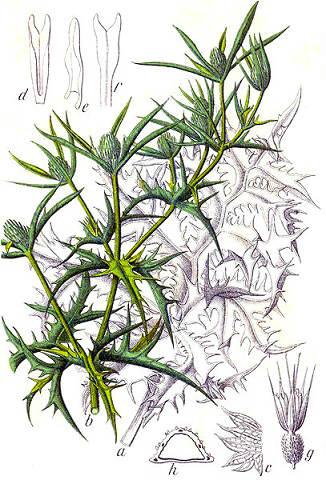 El Cardo corredor en los Bosques comestibles del Mediterráneo
