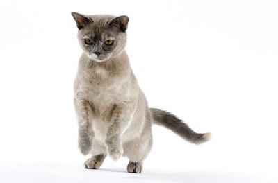 القطط البورمية Burmese cat