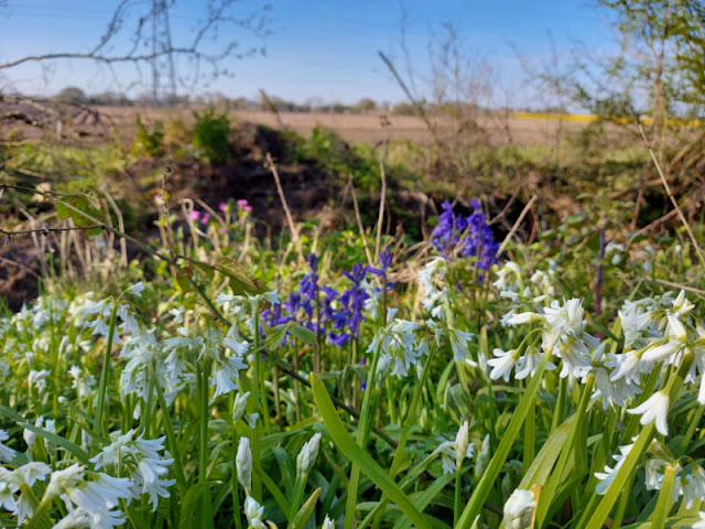 White Spring flowers in the foreground with bluebells behind and pink ragged robin in the distance