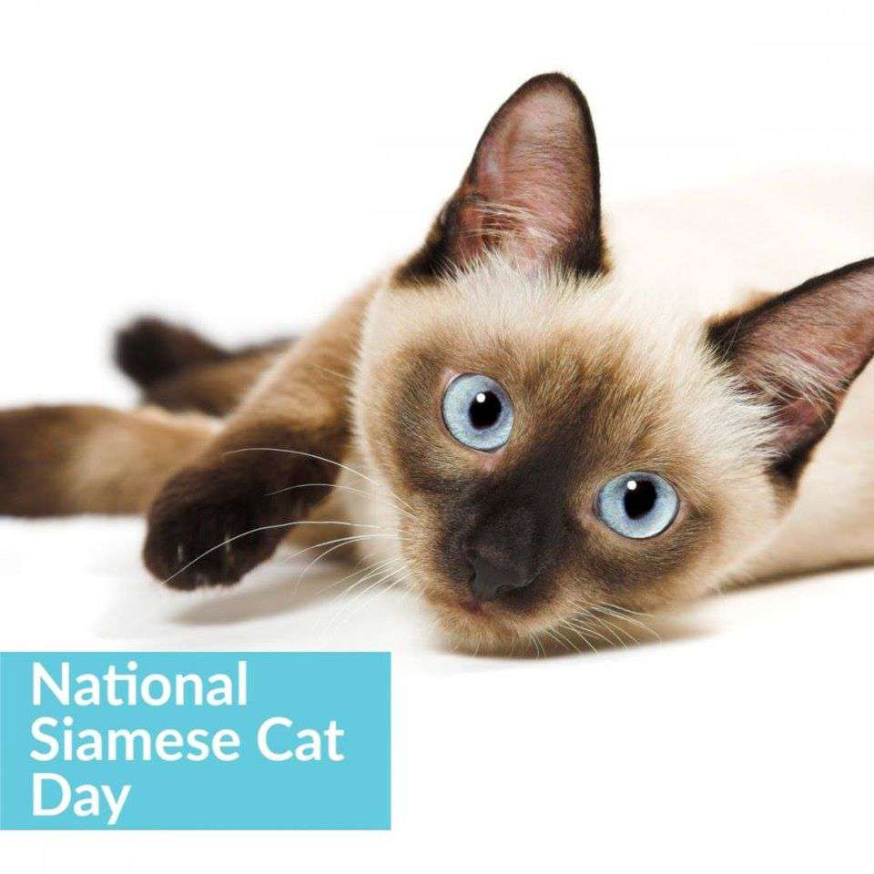 National Siamese Cat Day Wishes pics free download