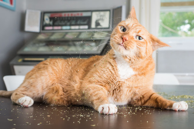 16 Pictures This Photographer Takes Photos Of Cats High On Catnip