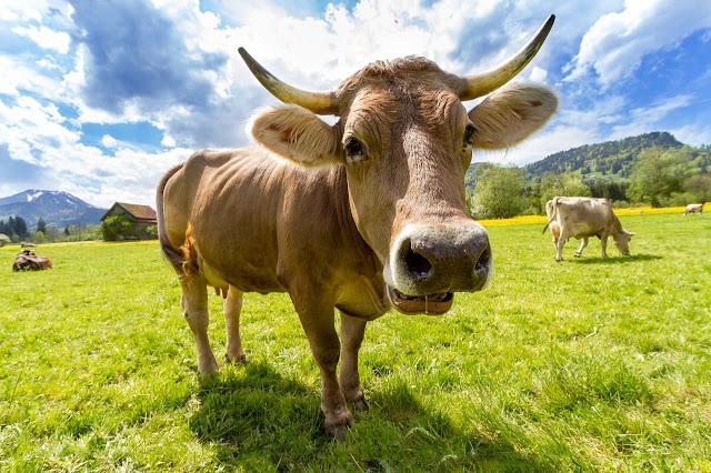#Cuento Tengo la vaca atada