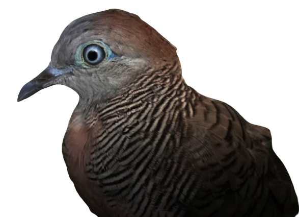 jenis jenis burung perkutut dan gambarnya Wisnu Wicitra