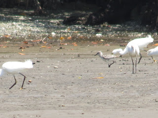 Black-bellied Plover and Snowy Egrets