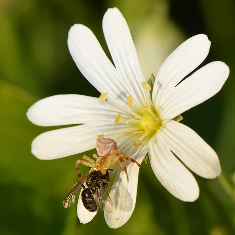 Thomisus onustus - Thomise enflée capturant une abeilles auvage