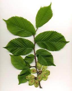 Elm tree leaves, by MPF, CC BY-SA 3.0