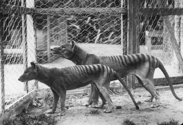 First 3D models reveal development of Tasmanian tiger from joey to adulthood