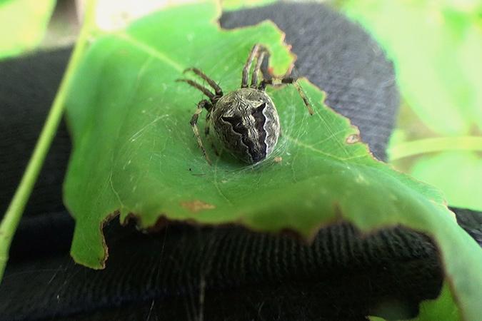 Dlium Monggo orbweaver (Neoscona menghaiensis)