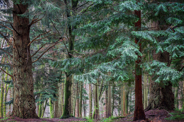 Soft green canopy of a large fir tree along the Tall Tree Trail in the New Forest
