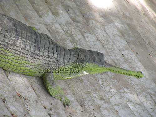 Crocodiles And Eligators Pictures  Download Photos