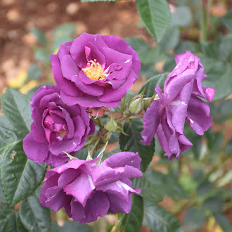 Purple Roses @ Rose Garden Ooty
