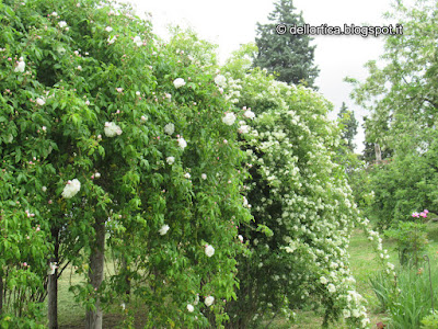 confetture di petali di rosa, oleolito di rosa canina, petali di rosa damascena e gallica per tisane, pulcini di gallina modenese alla fattoria didattica dell'ortica, savigno, valsamoggia, bologna in appennino vicino zocca