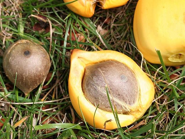 Frutti Palma Cilena