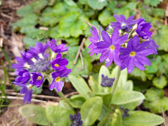 Image shows purple flowers of two plants next to each other