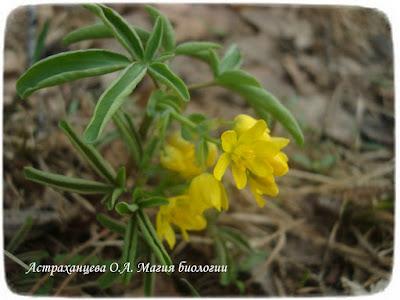 Леонтица алтайская Leontice altaica желтый подснежник, первоцвет