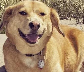 Corgidor (Labrador Retriever Corgi mix) Temperament, Size, Lifespan, Adoption