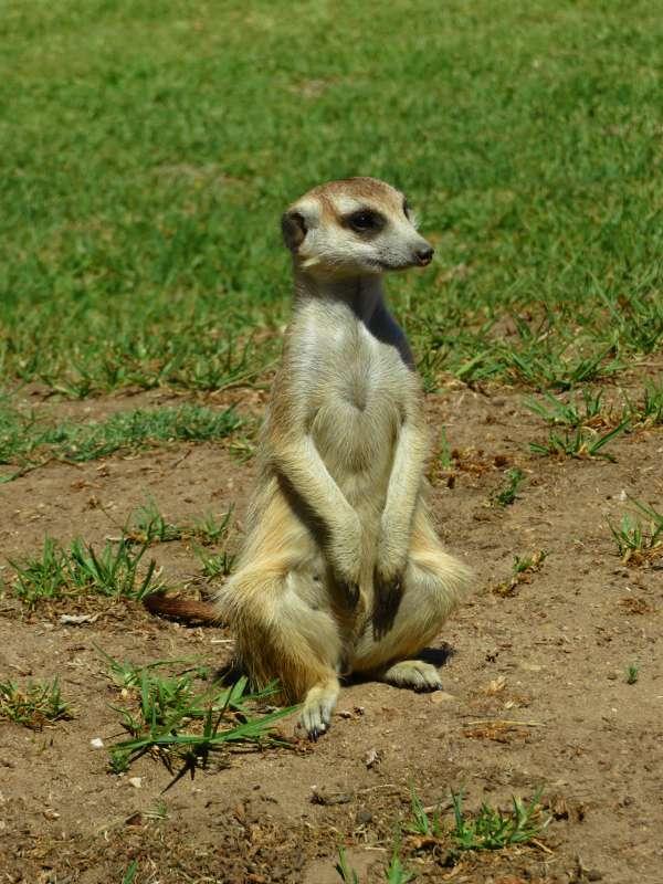 Meerkat at Madi-Madi