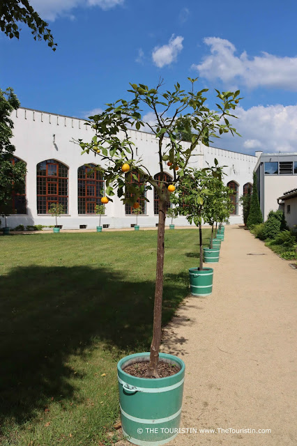 Lemon trees planted in green pots lined up in front of a white flat building with large brown framed windows..